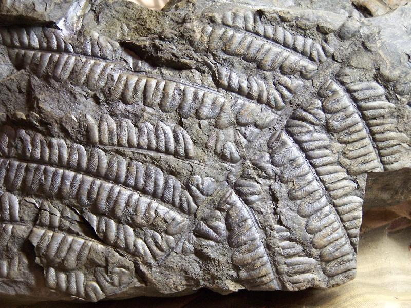 Callipteridium   Weiss , 1870 . Fossiles_xetw2eyk44gsdzch5a97