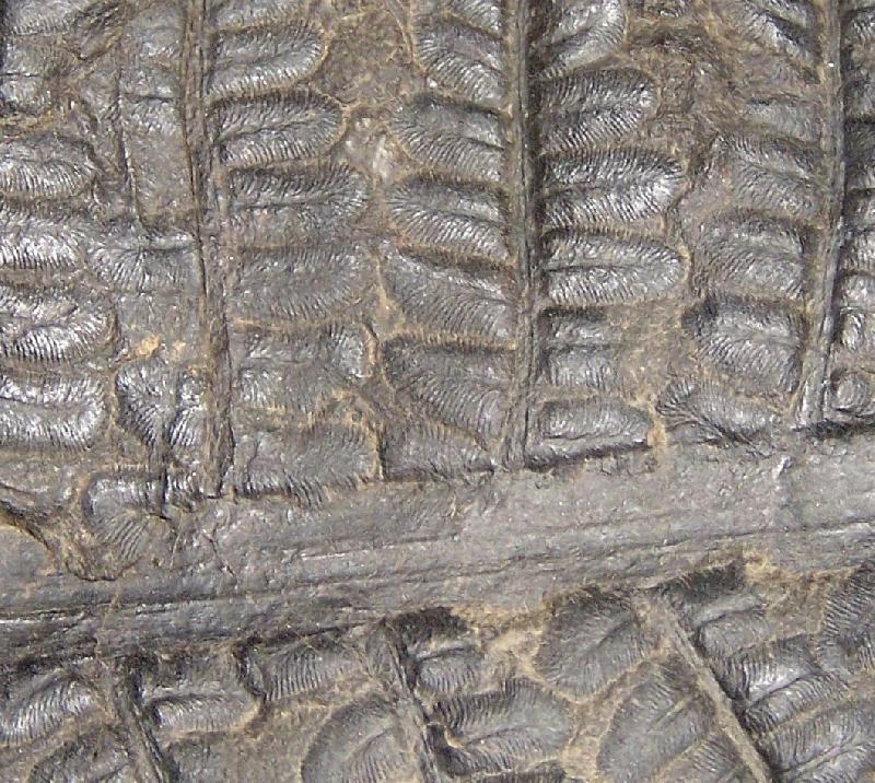 Polymorphopteris polymorpha Fossiles_xq7qmth5d2vne34r7hp3