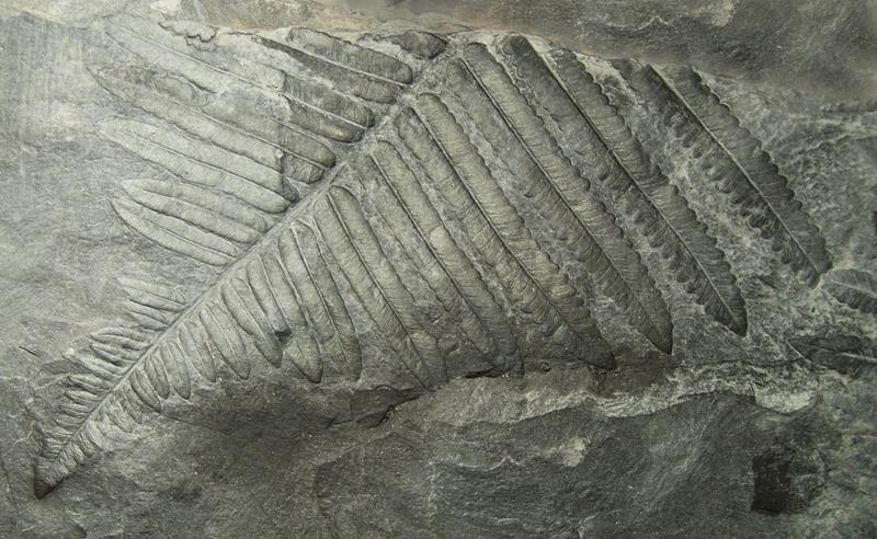 Diplazites  Göeppert , 1836 . Fossiles_y48p8s1k3ucqca95slg0