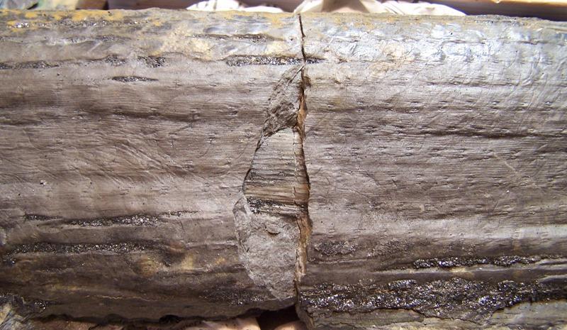 Sigillaria Brongniart ,1822. Syringodendron Sternberg,1820.  - Page 3 Fossiles_yjc85ars9wzrfhbddnnw