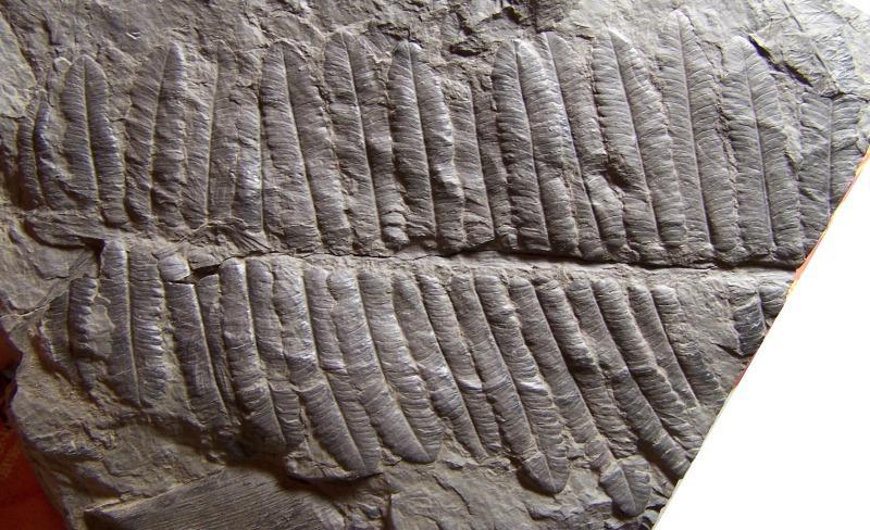 Diplazites  Göeppert , 1836 . Fossiles_ykzpk55pd978cqraues7