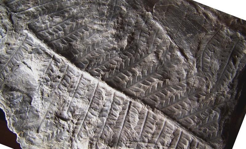 Pecopteris (Brongniart ) , Sternberg 1825. - Page 2 Fossiles_yy2fc3zjfpt9wk60ugql