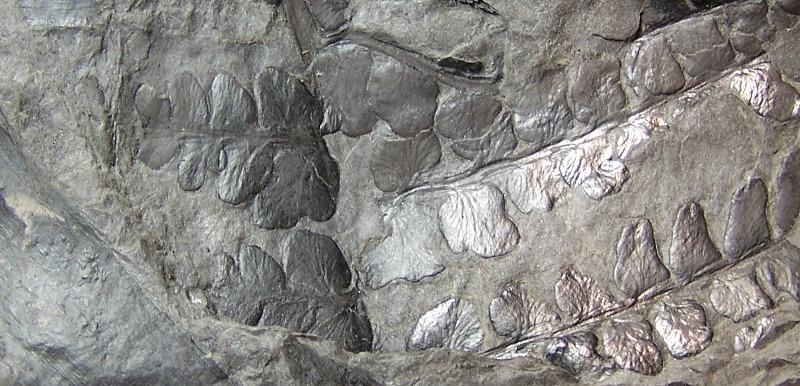Pseudomariopteris busquetii Fossiles_z8zwbvg339uf5tk4lrmq