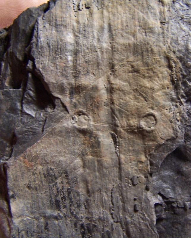 Pecopteris (Brongniart ) , Sternberg 1825. - Page 2 Fossiles_ze09fvtypkxhyx5rcgp6