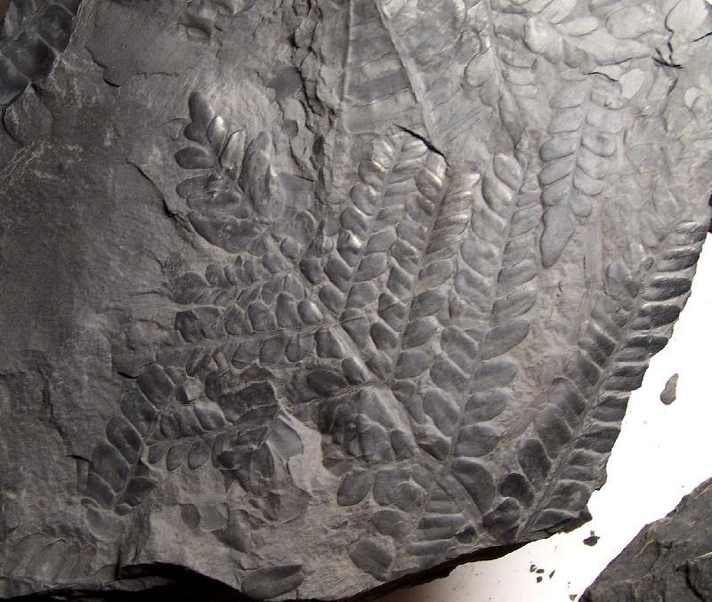 Neuropteris ovata Hoffmann . Cyclopteris Brongniart , 1830.  Fossiles_zkkmspat4gs2edn70f8c