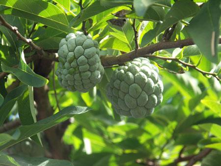 Annona squamosa L. Pt2775