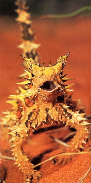 الشيطان الشائك thorny devil Thorny%20Devil%20head%20on