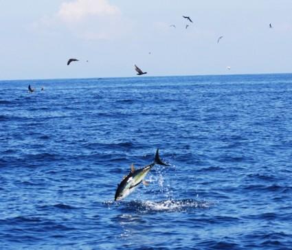 Atún recomendación de equipos SHIMANO Flying_tuna_img_1415_scale