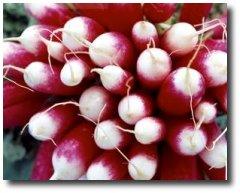 Le radis Alimentation-151