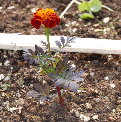 Leaves turning purple Marigold