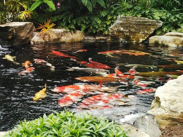 Diễn đàn rao vặt tổng hợp: Tìm hiểu và lưu ý lắp đặt hệ thống sưởi cho hồ cá Thiet-ke-ho-ca-koi-tai-sai-gon-2