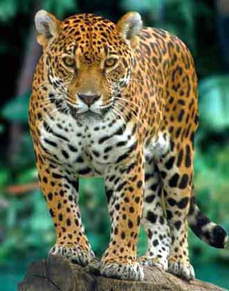 Slikoviti kaladont - Page 7 Jaguar