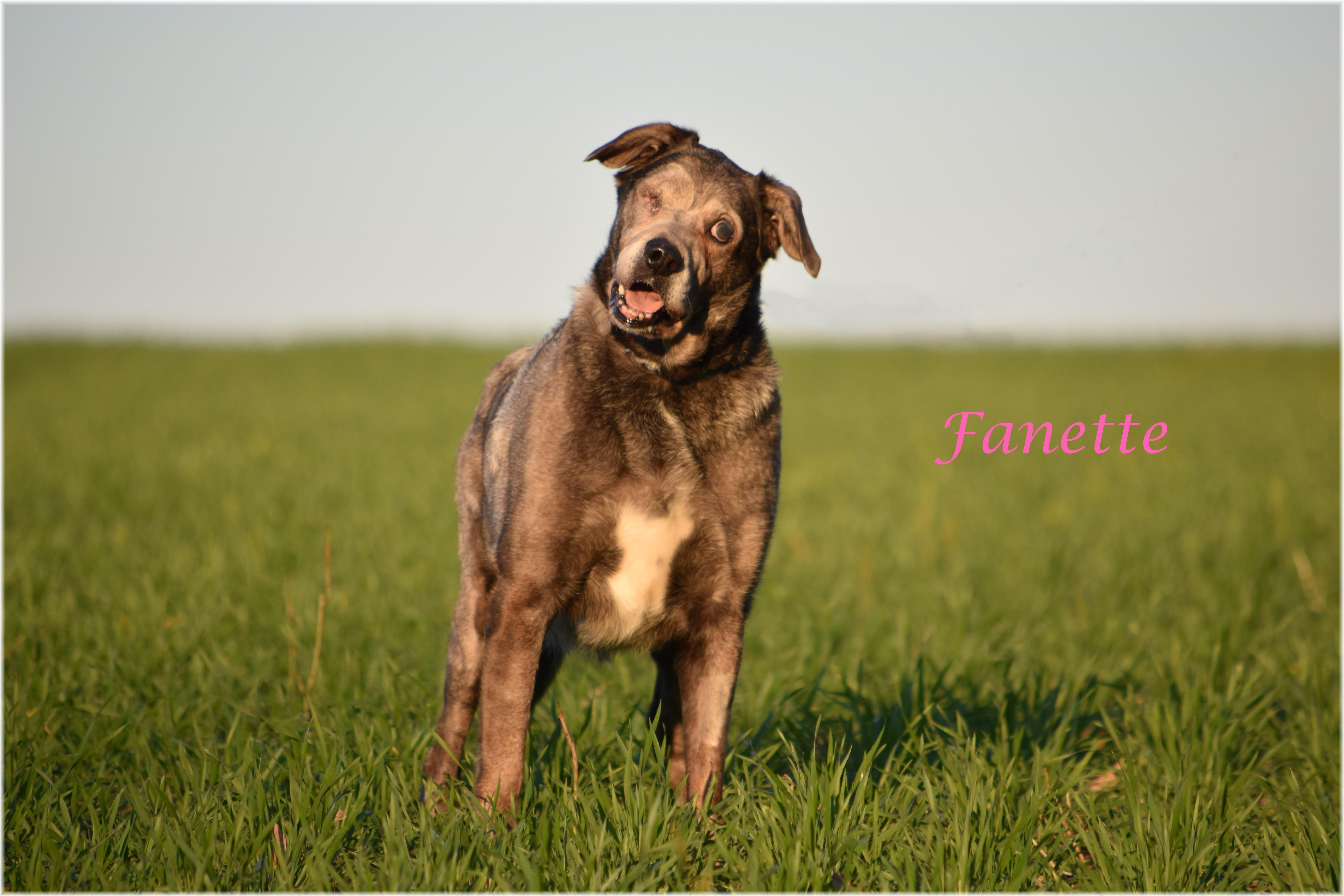 Sos -  FANETTE - x labrador 11 ans - SBPA à Lintot (76) Fanette_InPixio