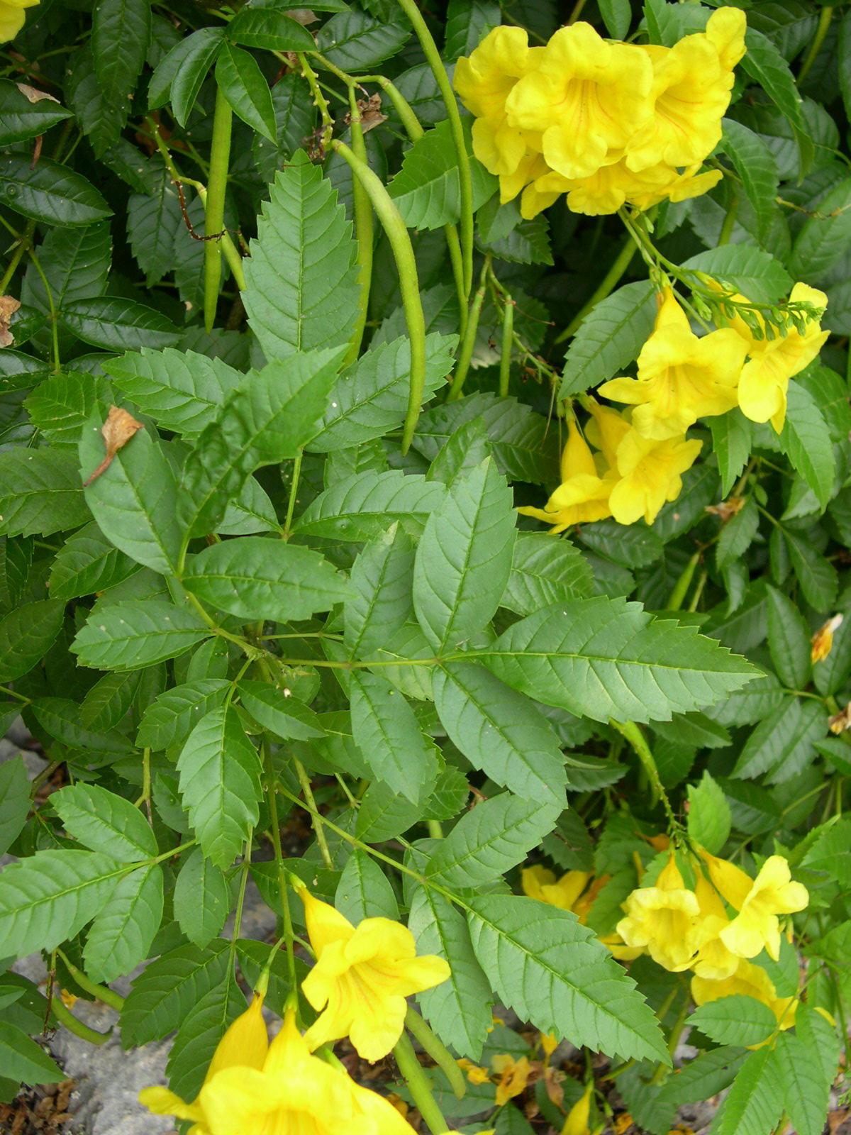 une plante - ajonc  - 18 aout trouvée par Martine Tecoma%20stans%20lvs