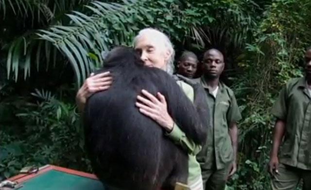 ANIMALES - Página 2 Liberacion-chimpance-wounda