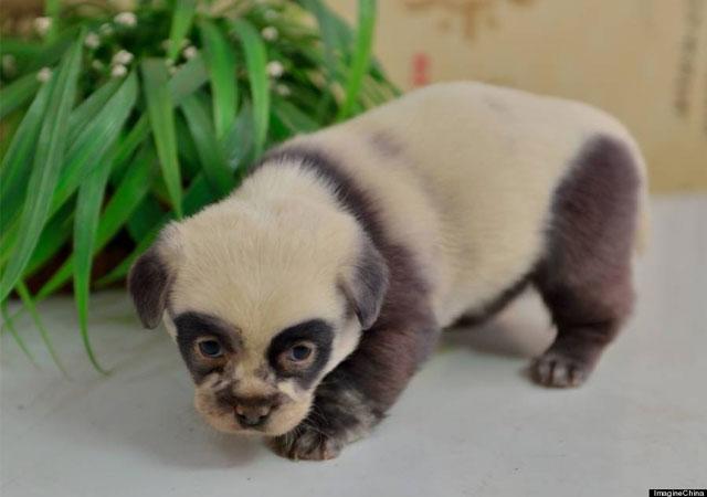 CACHORROS Y ANIMALES Cachorros-perro-osos-panda-china
