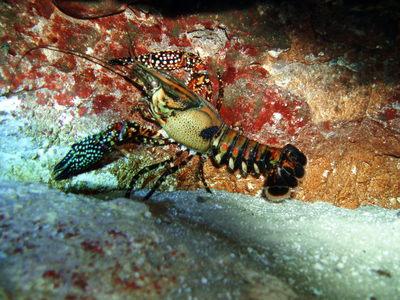 Dossier sur les cambarellus  Springcrayfish