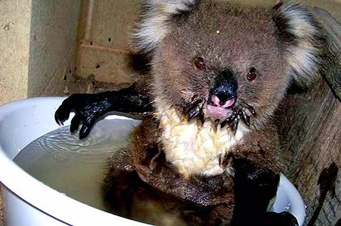thread sull'AMICIZIA tra specie diverse Koala_01