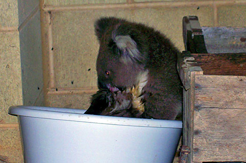 thread sull'AMICIZIA tra specie diverse Koala_07