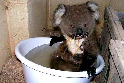 thread sull'AMICIZIA tra specie diverse Koala_08