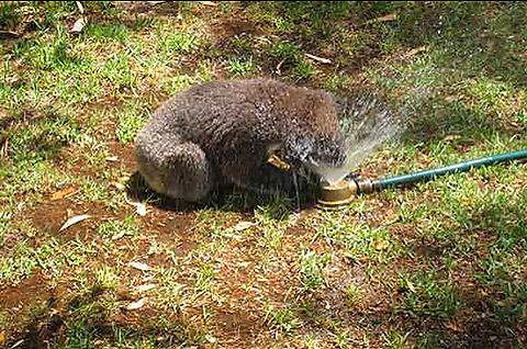 thread sull'AMICIZIA tra specie diverse Koala_10