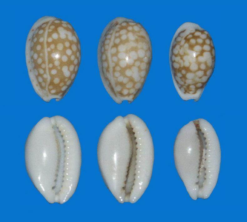 Cribrarula taitae - (Burgess, 1993) DT_P12