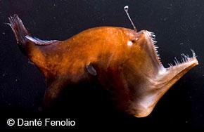 Podvodni cudesni svet - Page 2 Anglerfish-full-se48