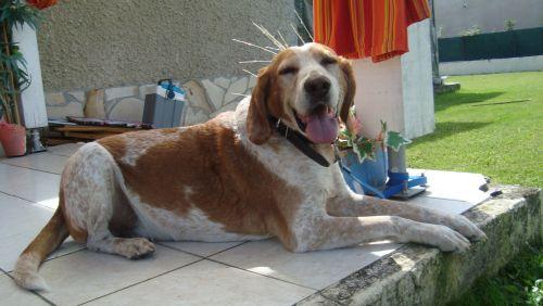 TIMm -  croisé épagneul/chien courant 12 ans - Association APPA65 (65) 500_90a92b645436da59ee07a9d24820d4f3