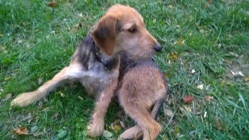 TOUFI - terrier 3 ans  - ASA81 à Aussillon (81) 500_787805822ddc9725dc5d39069c225b5d