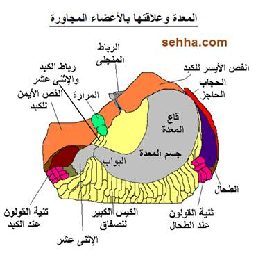 السرطان بانواعه cancer Gastric-cancer04