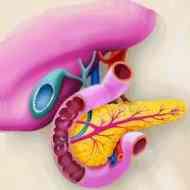 أمراض القلب والجهاز الدوري Pancreas1a