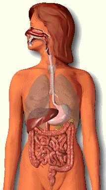 الجهاز الهضمي Digestive system Git2a