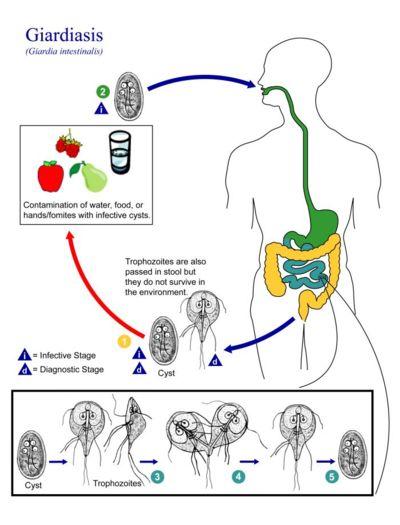 الامراض المعدية -Giardia_lamblia_life_cycle