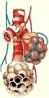 أمراض الجهاز التنفسي Respiratory tract Bronch2a