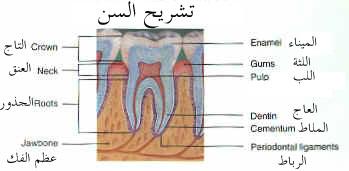 ملف كامل عن طب الأسنان بالصور  Toothanatomy