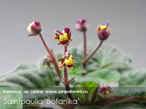 Необычные фиалки Saintpaulia_Botanika