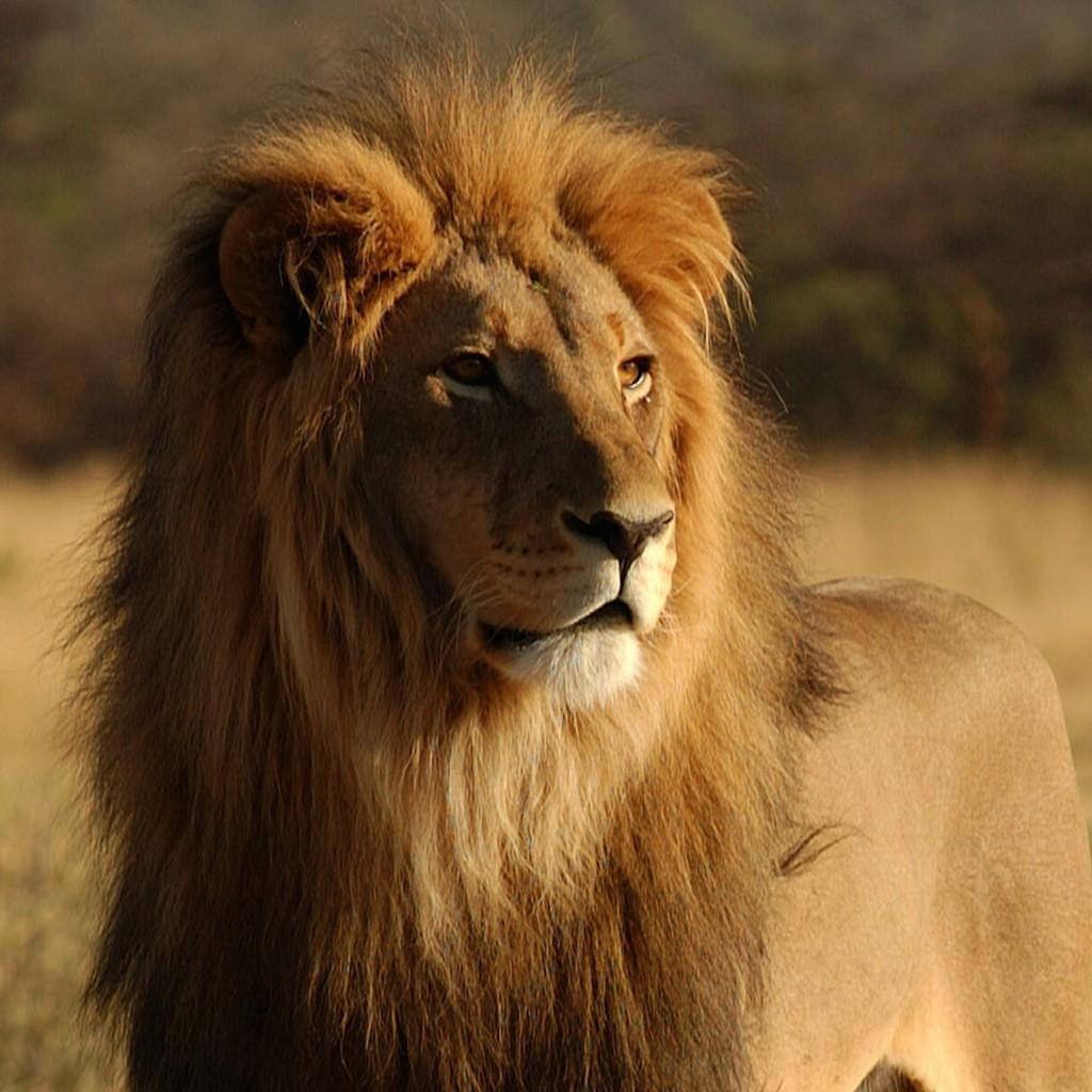 Afrika - Page 15 Lion-shutterstock-mini-1024x1024