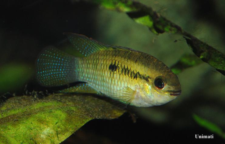 96L et 210 L Amazoniens  Laetacara-curviceps1