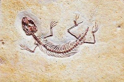 Fosili Fossil_lizard