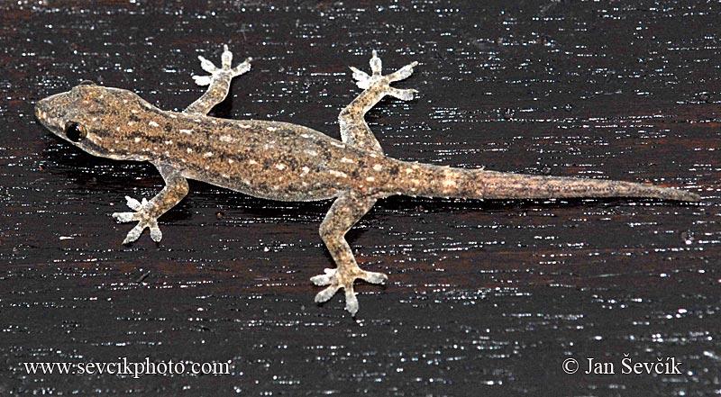 Please ID this lizard Hemidactylus-frenatus