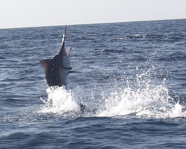 La Pesca Marlin por José Manuel López Pinto - Actualizado al 2 de Enero, 2013 Black_marlin_jumping