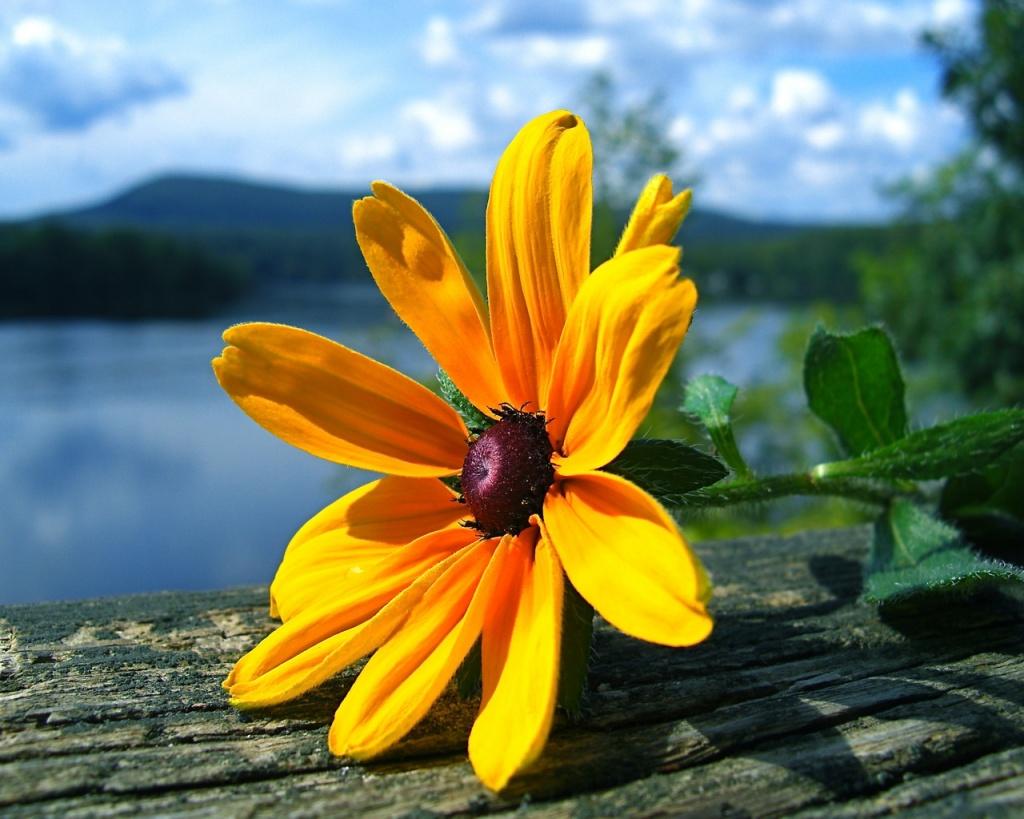 TOPIC DEGLI AUGURI. Compleanni, Onomastici, date da ricordare - Pagina 3 Sfondi-desktop-fiore-giallo-di-primavera-wallpapers