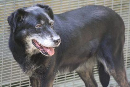 JOPLIN - x labrador 12 ans (7 ans de refuge)   de  Gueugnon (71) à SGPA à Bernex 'Suisse) Joplin1-419x279