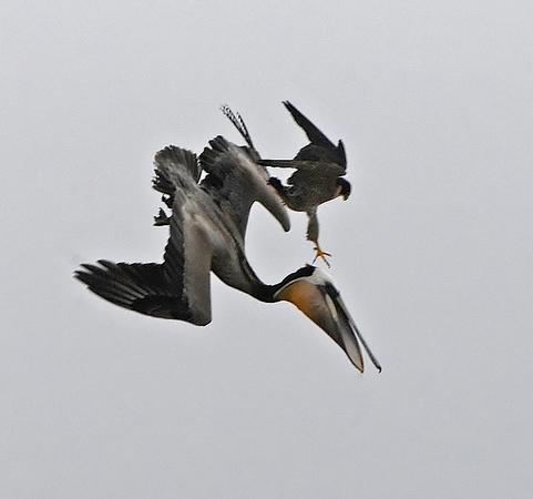 Falconiformes. sub Falconidae - sub fam Falconinae - gênero Falco - Página 2 WillSooter67051517711