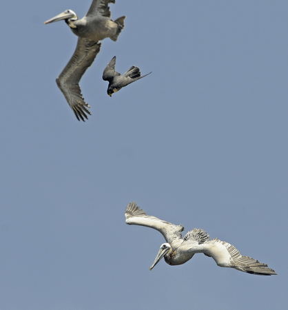 Falconiformes. sub Falconidae - sub fam Falconinae - gênero Falco - Página 2 WillSooter67051517723
