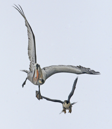 Falconiformes. sub Falconidae - sub fam Falconinae - gênero Falco - Página 2 WillSooter67051518942
