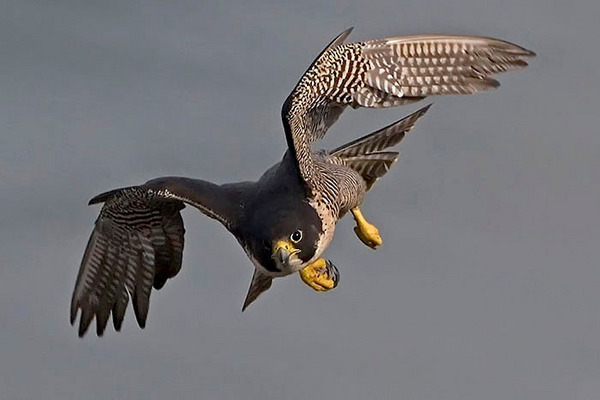 Falconiformes. sub Falconidae - sub fam Falconinae - gênero Falco - Página 2 WillSooter6705494884