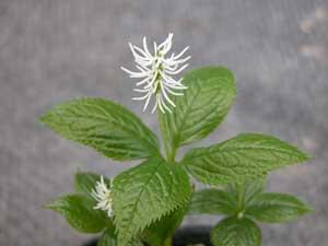 VƯỜN CÂY HOA ĐV I - Page 2 Chloranthus%20japonicusAojiku