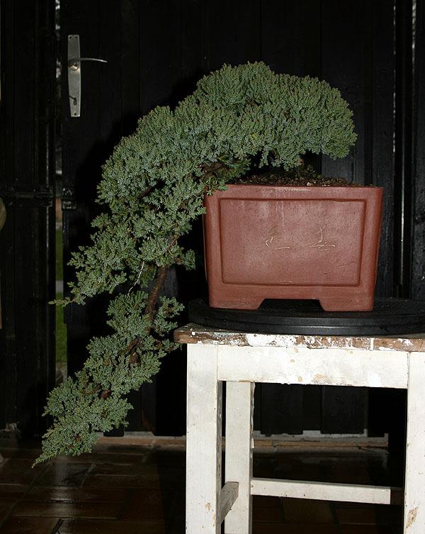 Juniperus Prokumbens Nana  - Cascade - Update 2010-31-03brin006