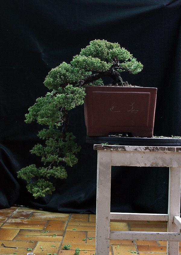 Juniperus Prokumbens Nana  - Cascade - Update 2010-31-03brin008